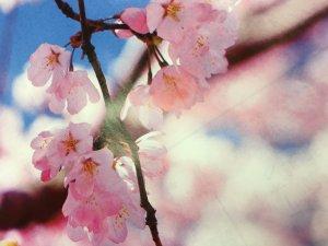 桜見ましたか